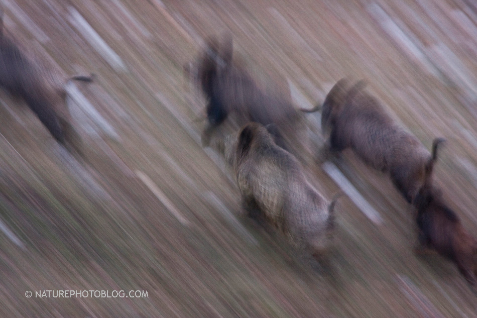 Bruno D'Amicis - Boars on the run