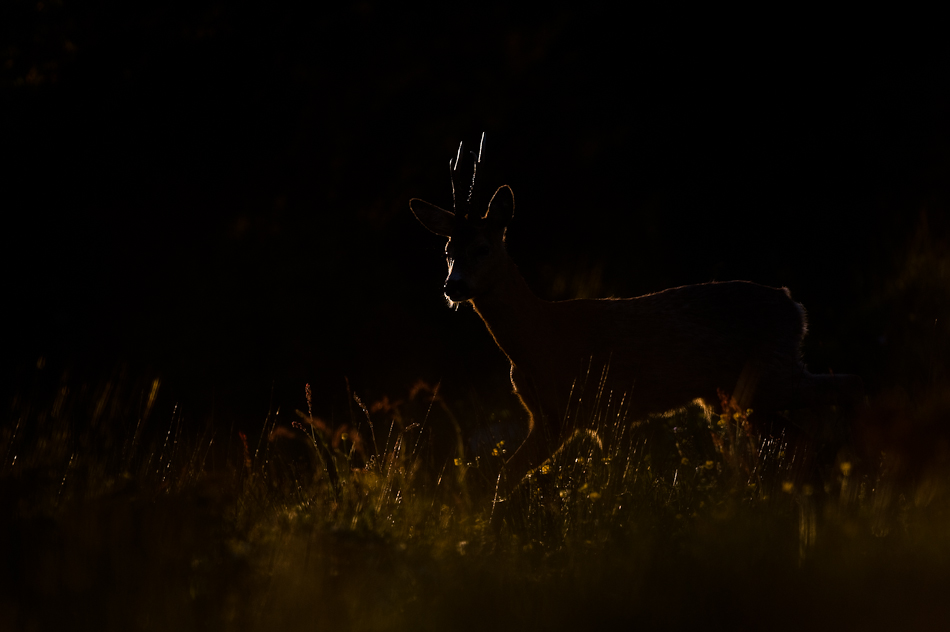 Roy Mangersnes - Roe Deer in the dark