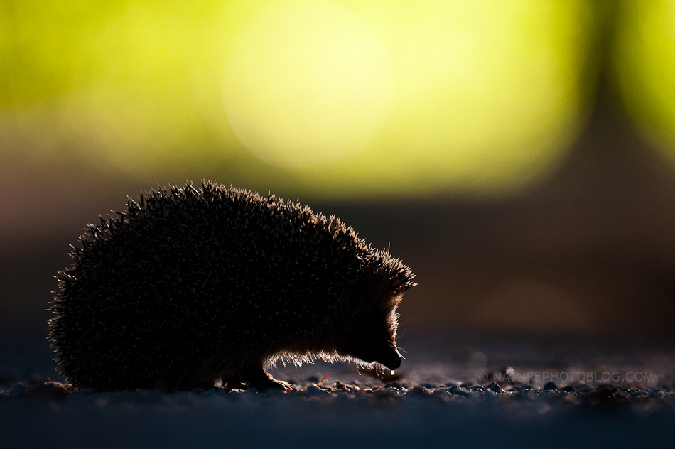 Roy Mangersnes - Evening Hedgehog