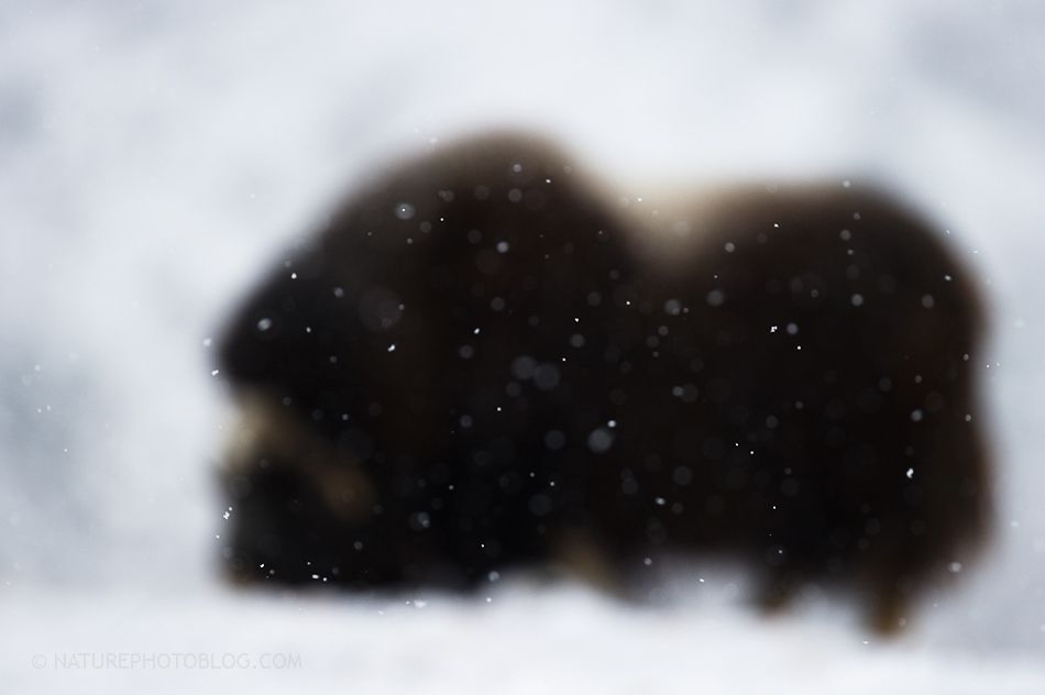 Roy Mangersnes - Musk ox in snow