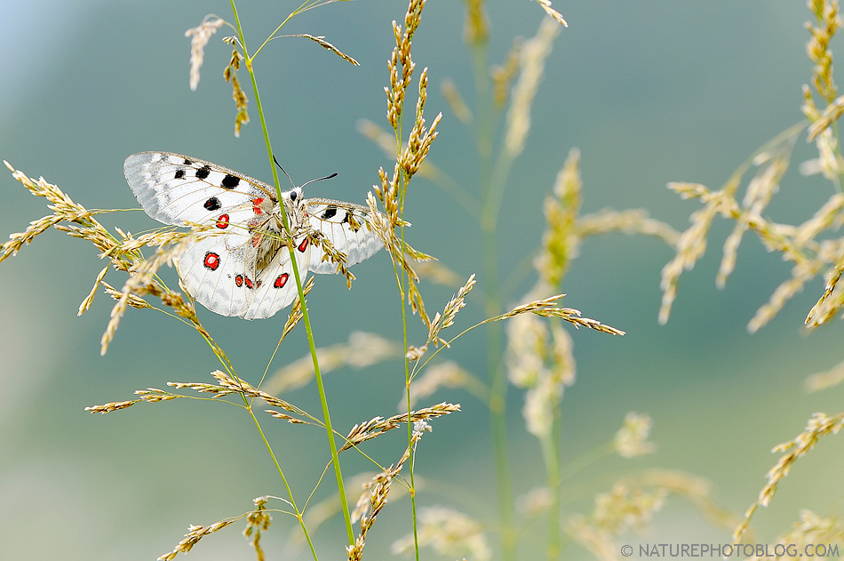 Luciano Gaudenzio - Mountain's Queen (Parnassius Apollo)