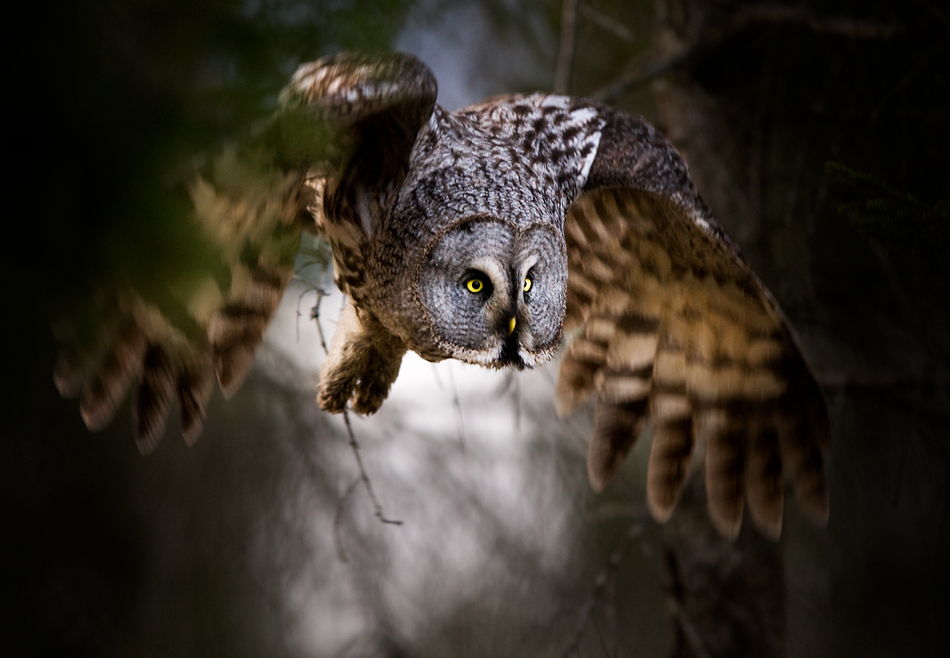 Stian Holmen - Great Grey Owl