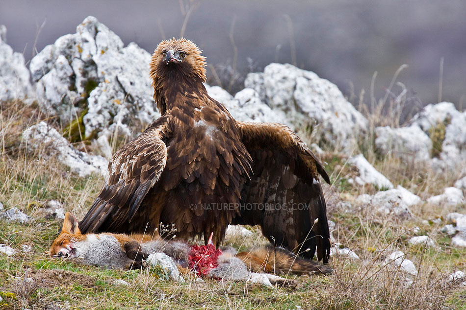 Bruno D'Amicis - Eagle defending its prey