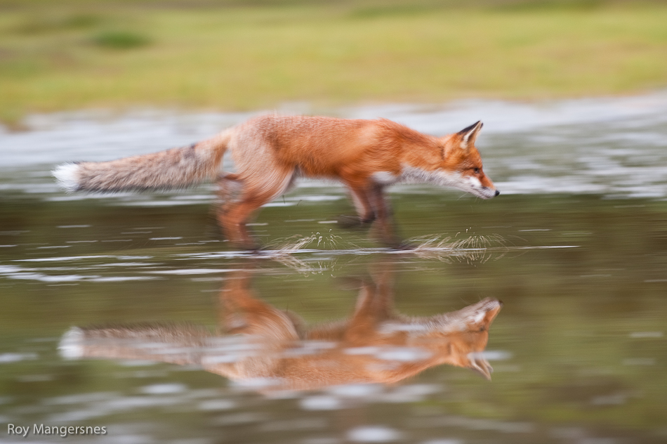 Roy Mangersnes - Fox reflection