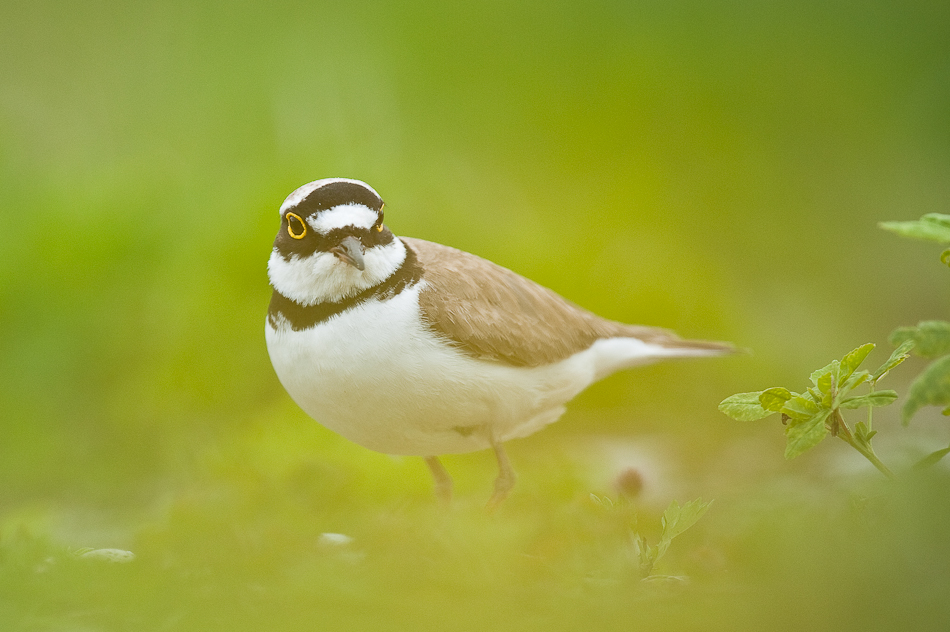 Roy Mangersnes - Little Plover in green
