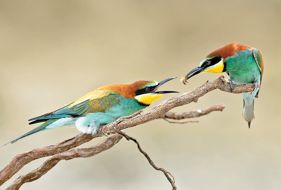 Luciano Gaudenzio - Bee-eaters time!