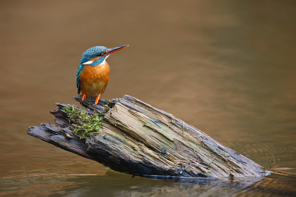Meelis Kivirand - Kingfisher Mommy