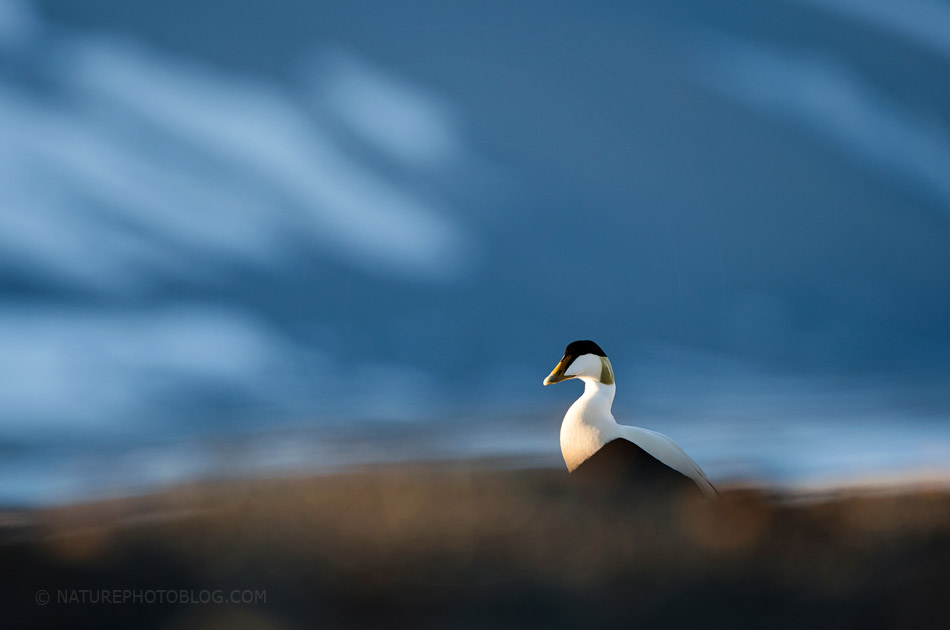 Heike_Odermatt Common Eider