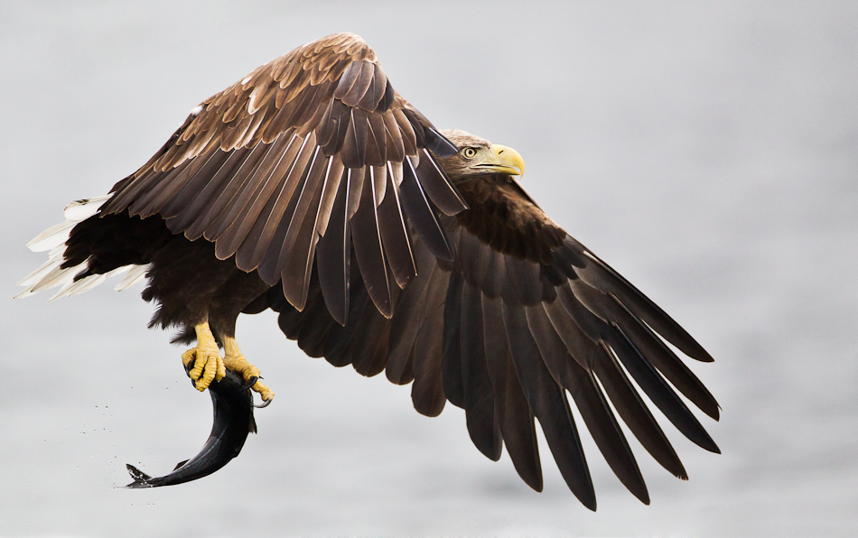 Stian Holmen - White tailed eagle