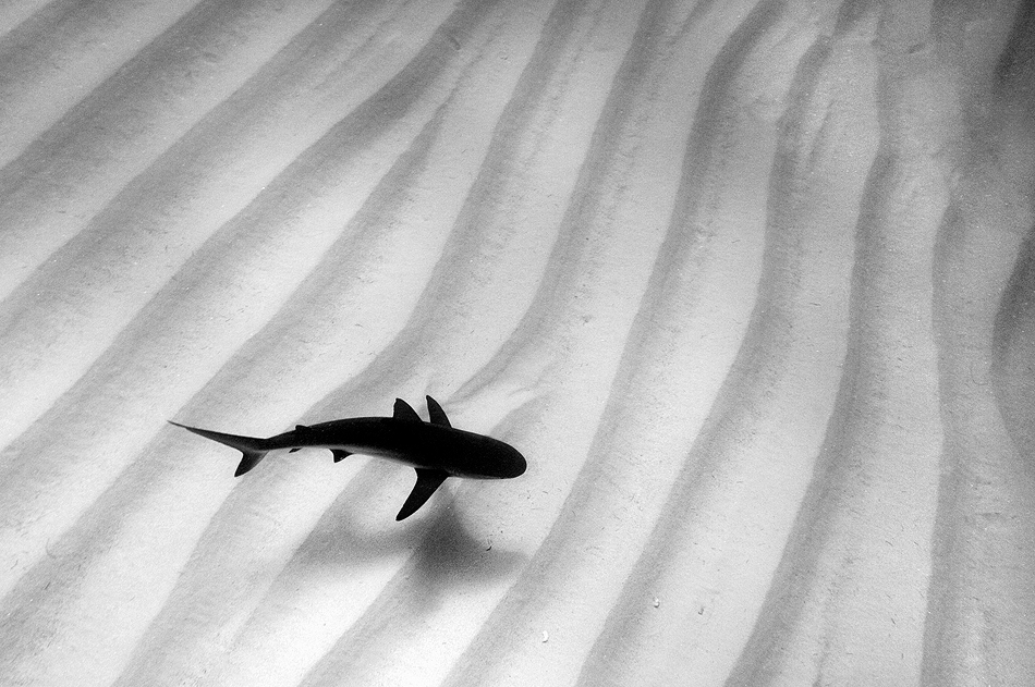Shark against sandy ocean bottom