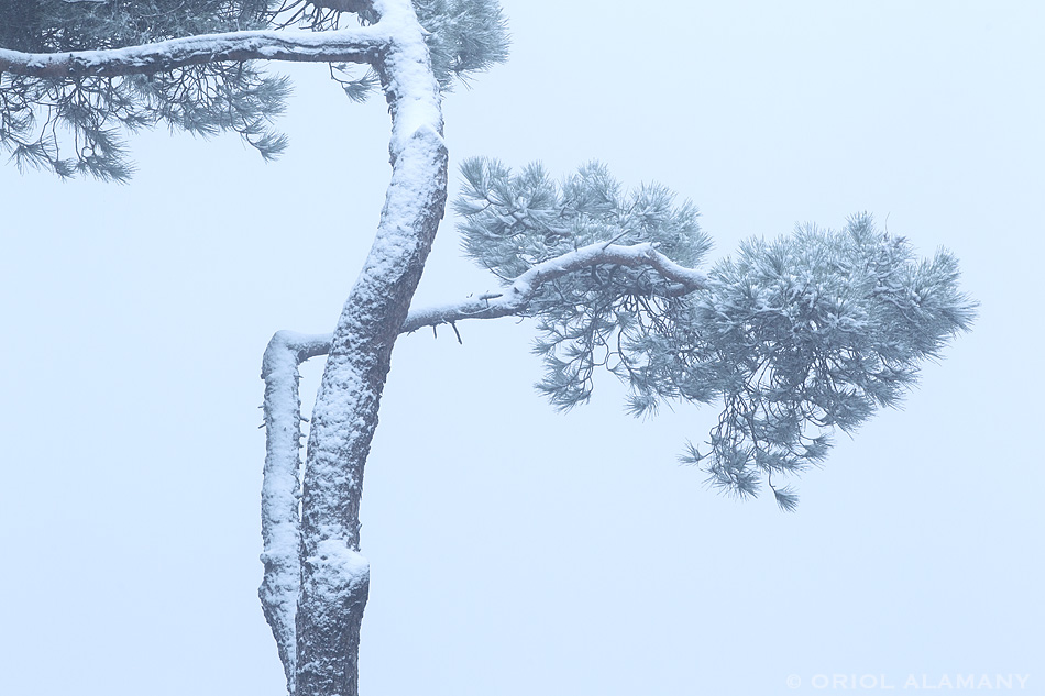 Oriol Alamany - Mediterranean Pine in a snowstorm