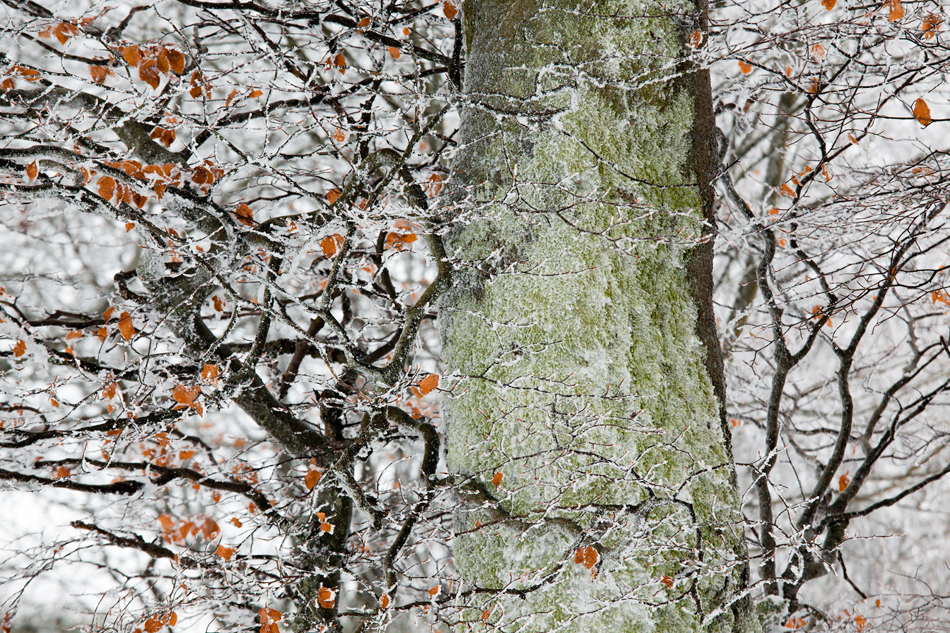 Theo Bosboom - Frosted beech tree