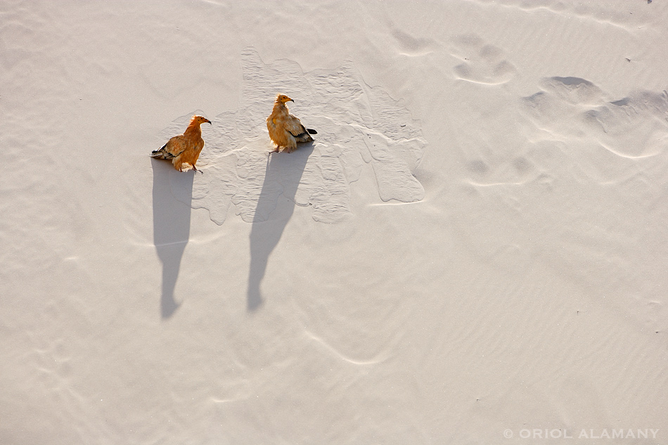 ORIOL ALAMANY - Egyptian Vultures, sand and shadows