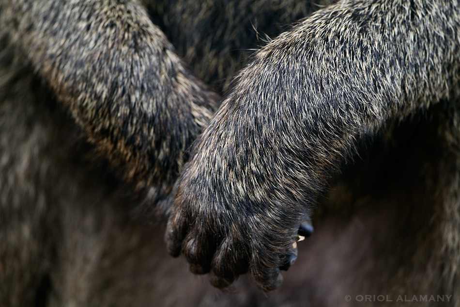 Oriol Alamany - Baboon hands