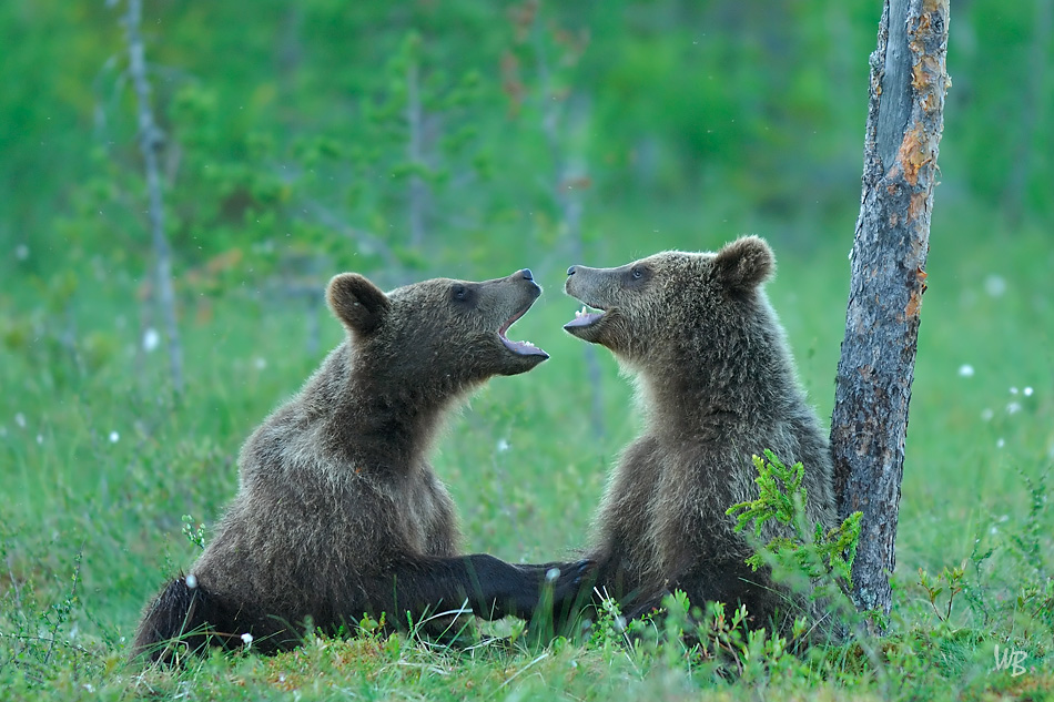 Werner Bollmann - Playful Cubs