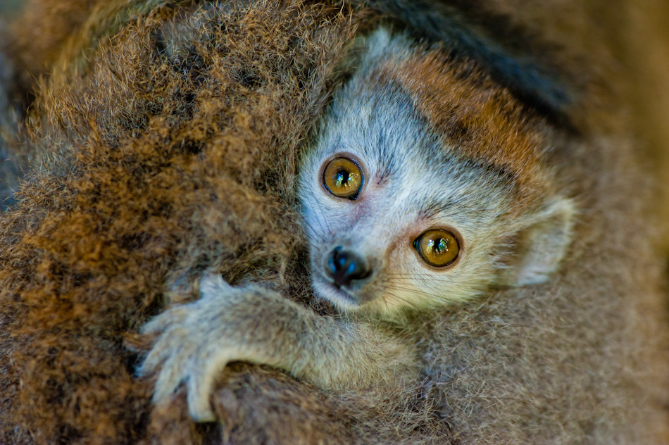 Iñaki Relanzon - Brown Lemur puppy