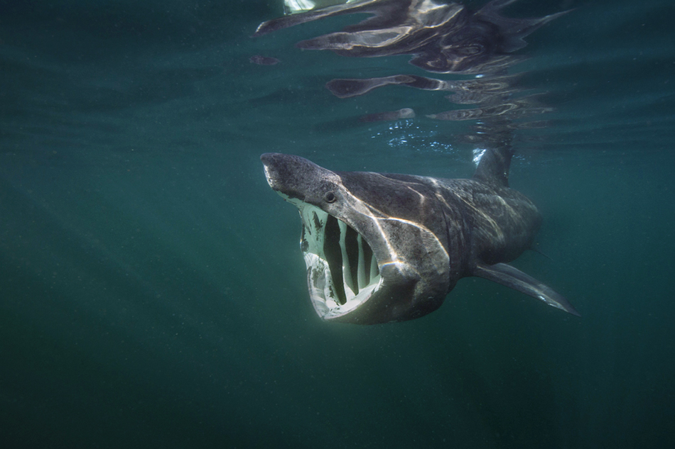 Alex Mustard - Basking Shark Feeding