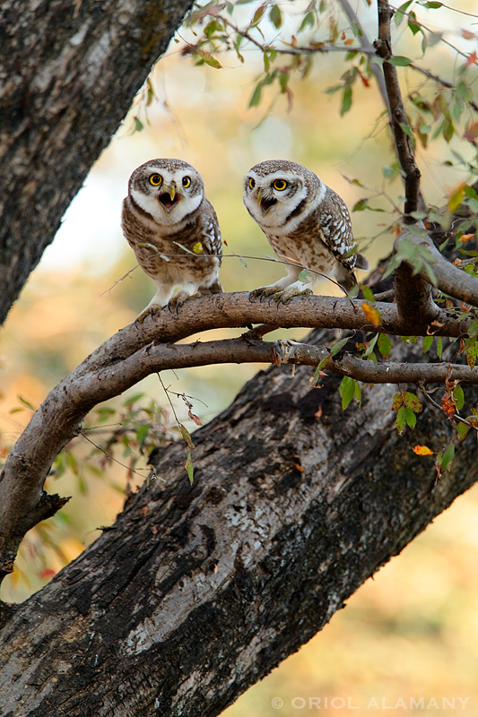 ORIOL ALAMANY - SPOTTED OWLETS