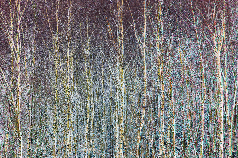 Heike Odermatt - Birches