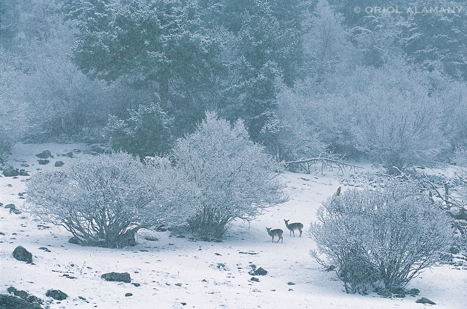 Oriol Alamany - Fallow Deers under the snow