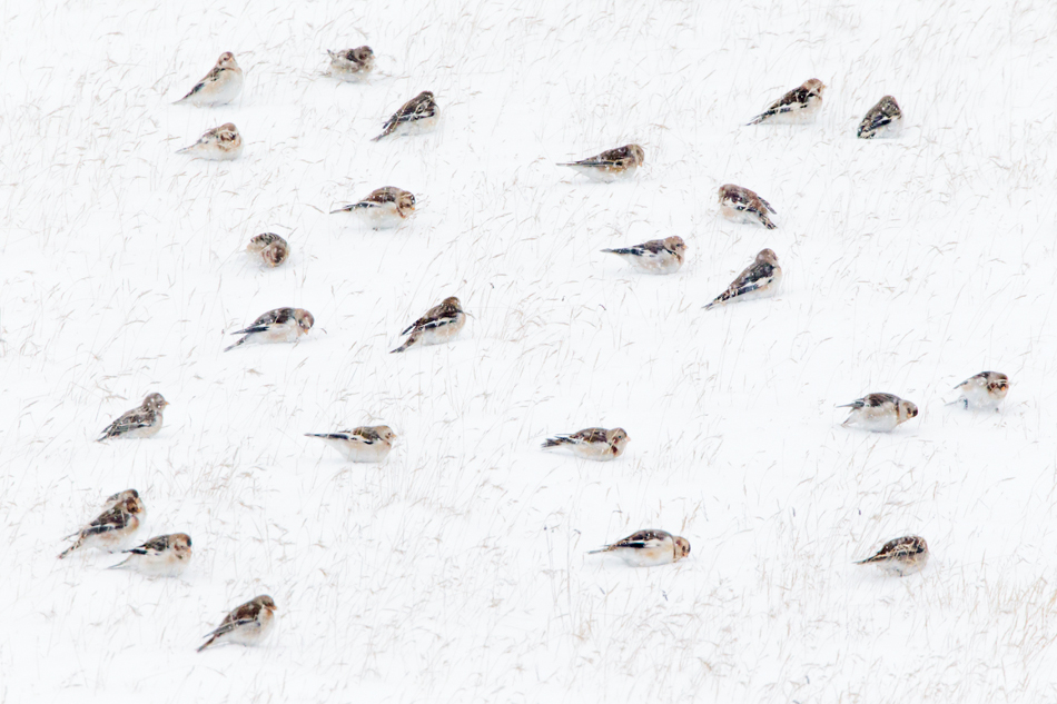 Theo Bosboom - Snow bunting gathering