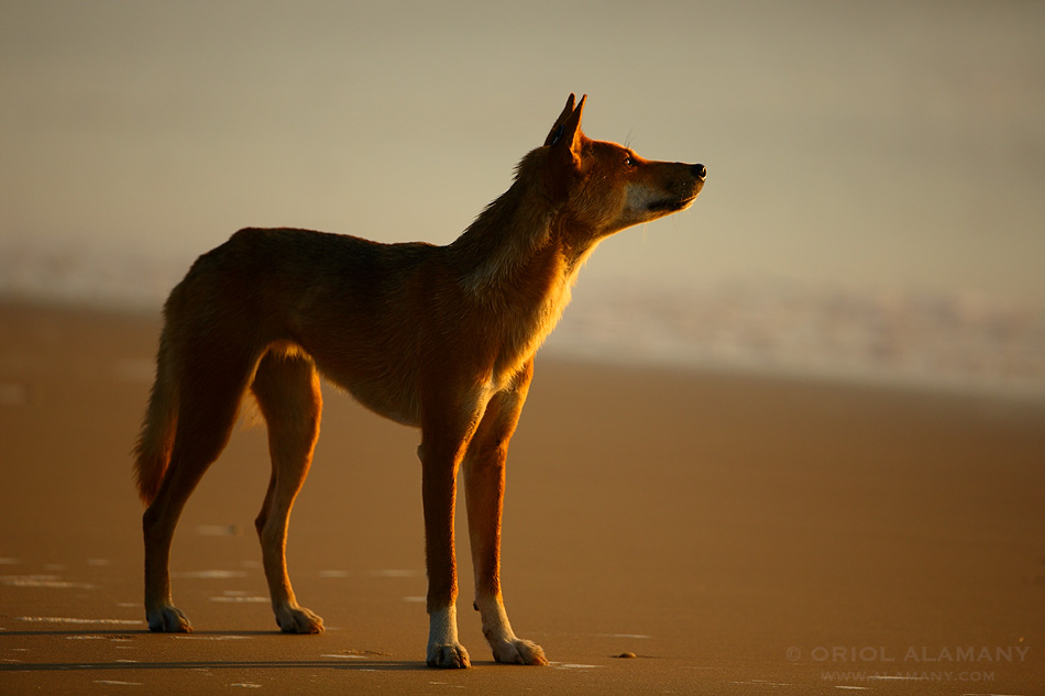 ORIOL ALAMANY - DINGO LOOKING AT THE SUNRISE