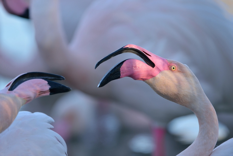 Emmanuel Boitier - Greater Flamingo