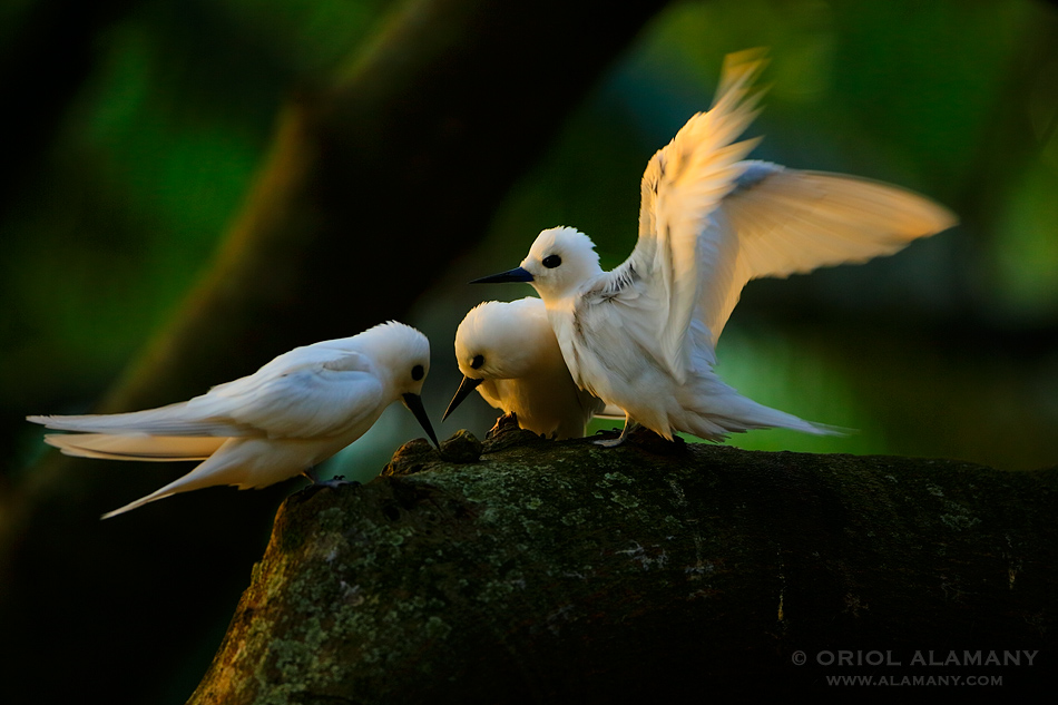 Oriol Alamany - White Terns in warm light