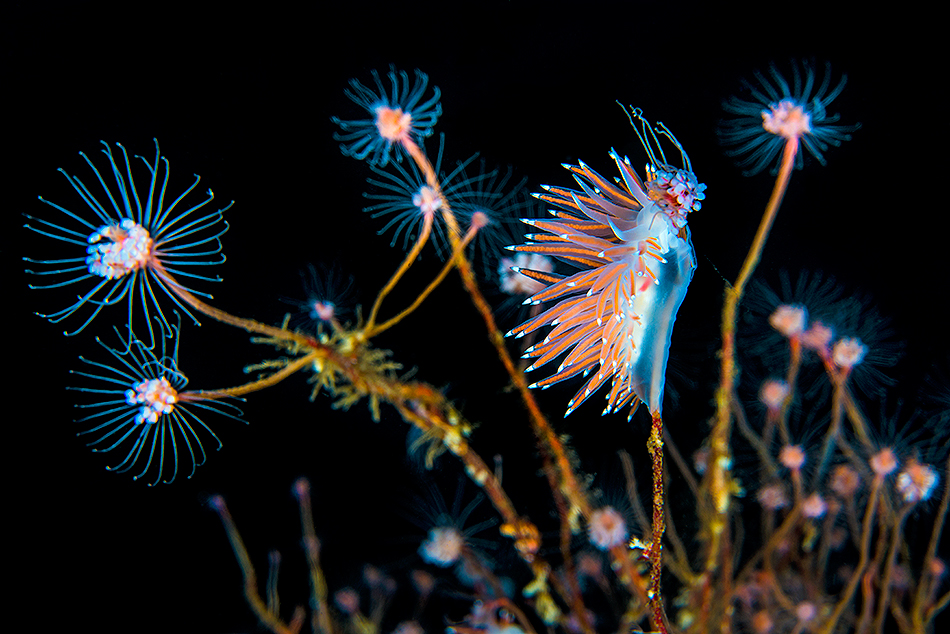 Alex Mustard - Nudibranch Feeds In Hydroid Forest