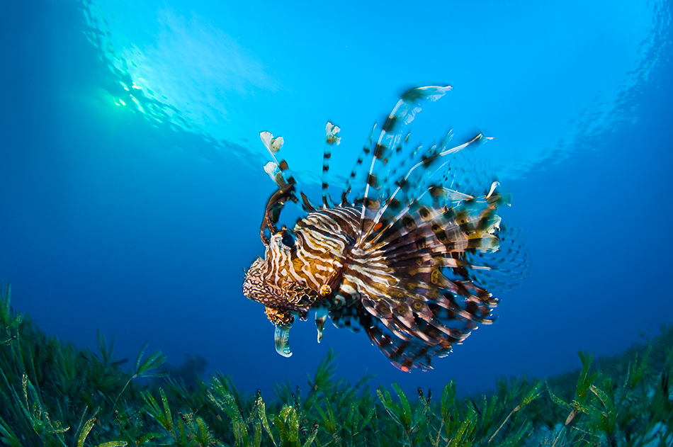 Alex Mustard - Lionfish On The Prowl