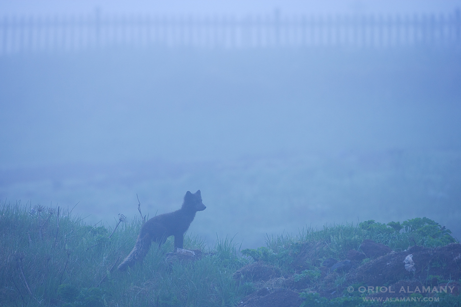 Oriol Alamany - Arctic Fox in the mist