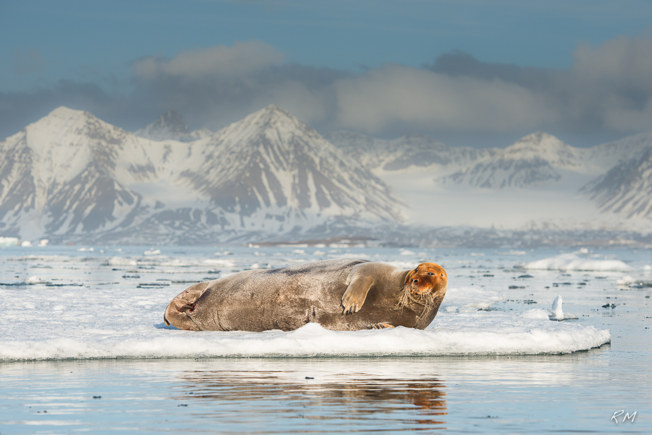 Roy Mangersnes - Bearded Seal on ice
