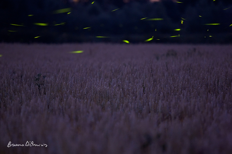 Bruno D'Amicis - Fireflies forever