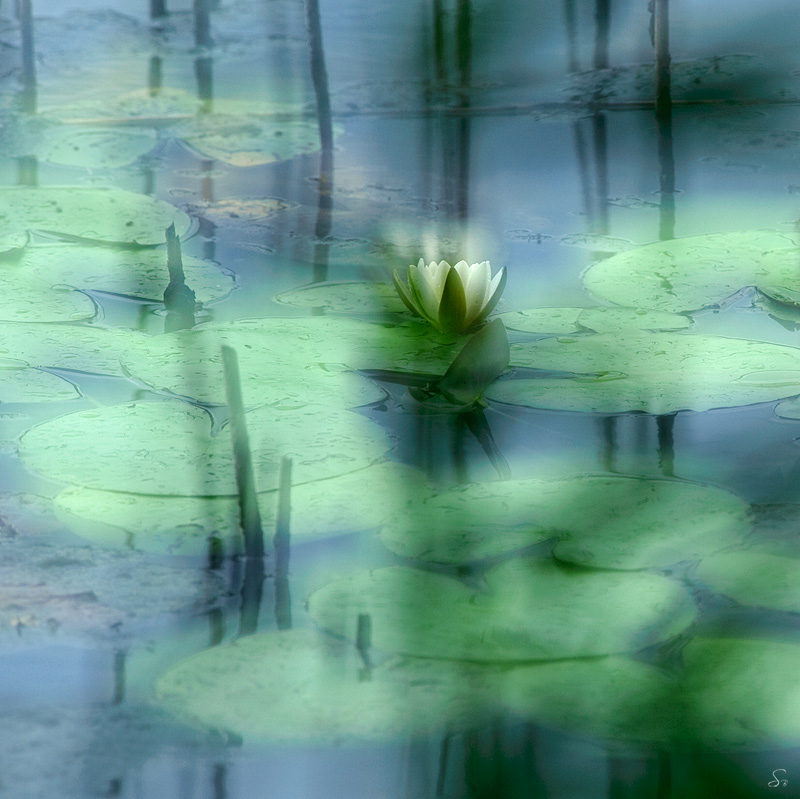 Sandra Bartocha - Waterlily