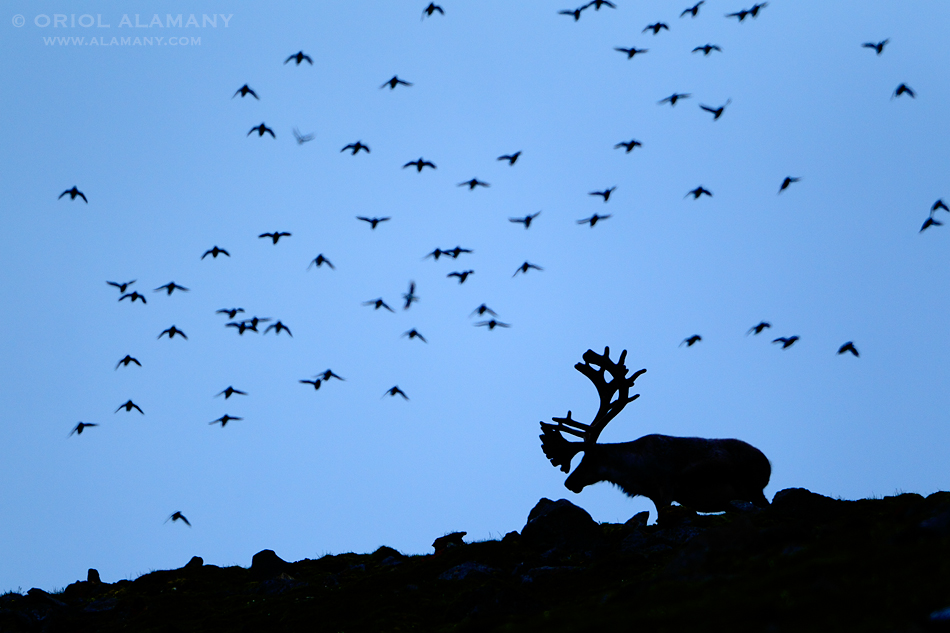 Oriol Alamany - Reindeer and Little Auks