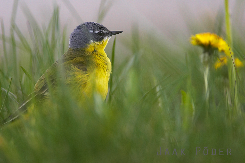 Jaak Põder - Yellow Wagtail and Dandelions