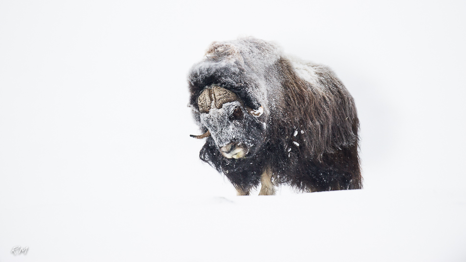 Roy Mangersnes - Musk Ox in white