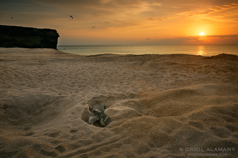 Oriol Alamany - Nesting Green Sea Turtle