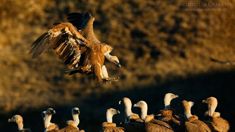 Oriol Alamany - Pyrenean vultures