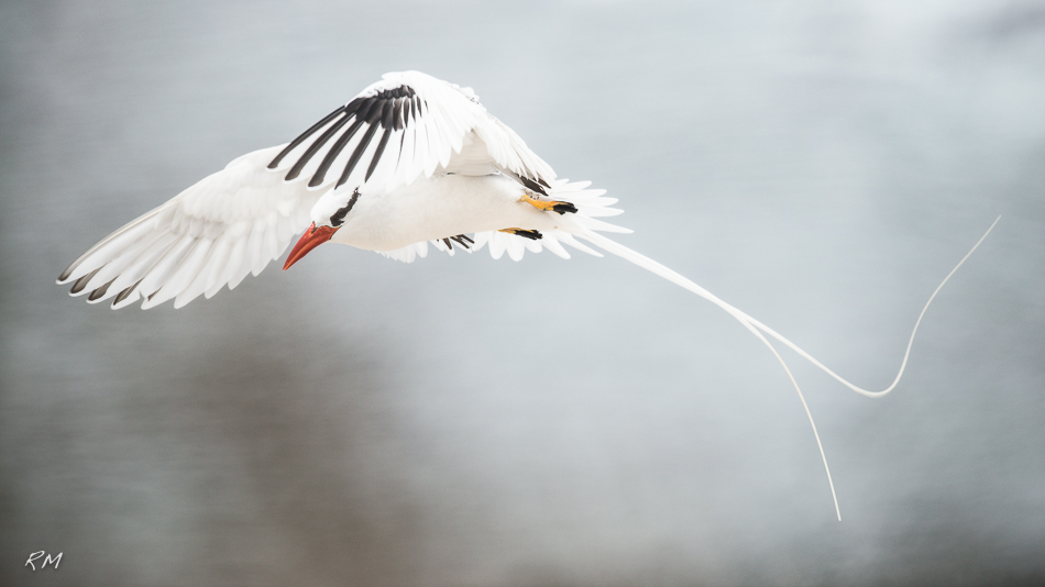 Roy Mangersnes - Red-billed Tropicbird